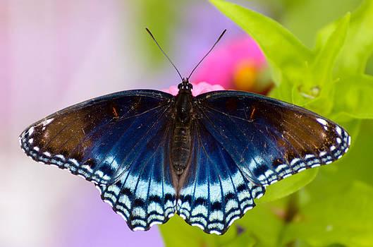 Blue Butterfly by Debbie Patrizi