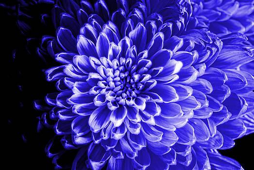Cindy Boyd - Blue Chrysanthemum