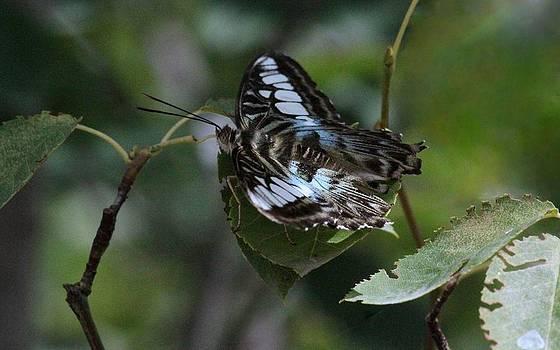 Rosanne Jordan - Blue Clipper Butterfly