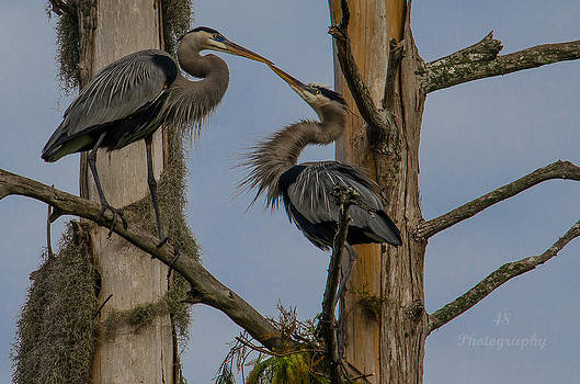 Blue Courtship by Brian Manley