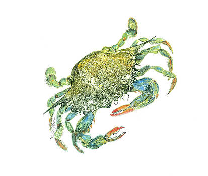 Blue Crab by Nancy Gorr