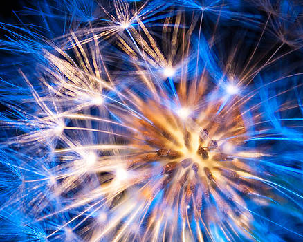 Blue Dandelion Up Close by Todd Soderstrom