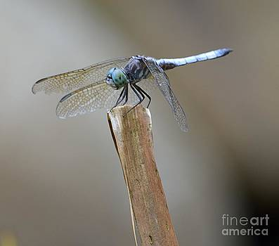 Blue Dasher by Randy Bodkins