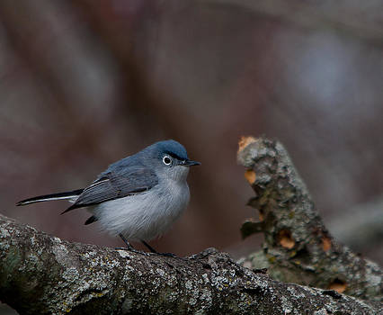 Blue-gray Gnatcatcher by Dave Weth