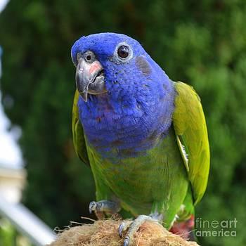 Mary Deal - Blue Headed Pionus Parrot