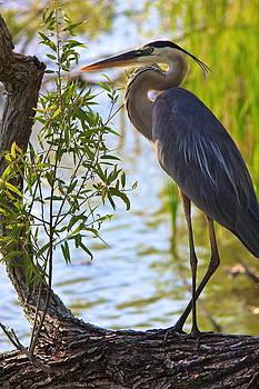 Amazing Jules - Blue Heron