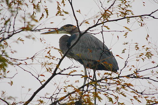 Blue Heron in a Tree by Anthony Wilder
