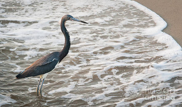 Blue Heron in the Surf by Vicki Kohler
