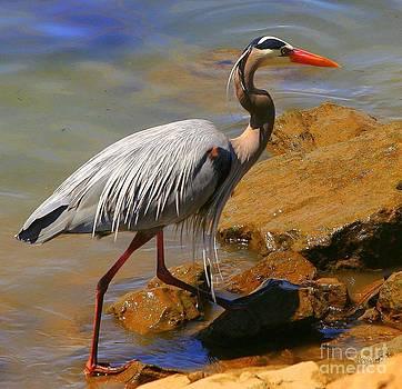 Blue Heron by Jennifer Lawrence