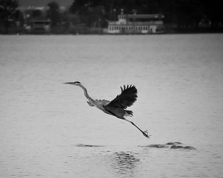 Blue Heron on Canandaigua Lake 2013 by Joseph Duba