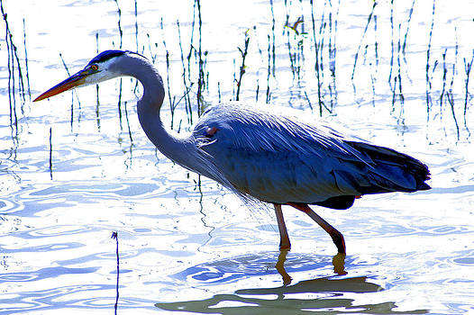 Nick Gustafson - Blue Heron Walking in Water