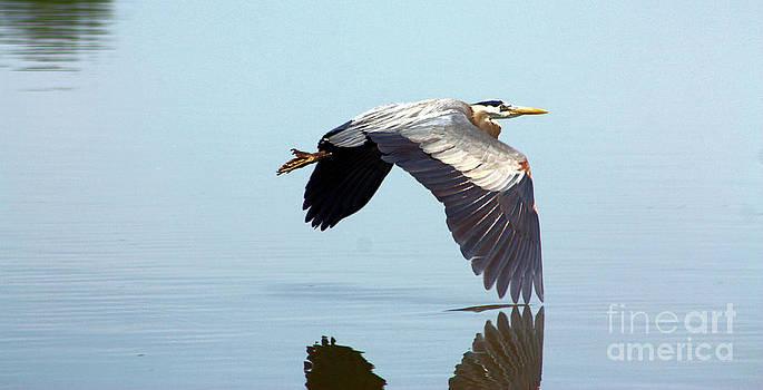 Nick Gustafson - Blue Heron Winged Reflection