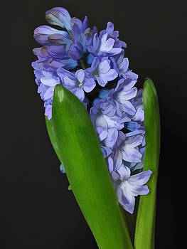 Blue Hyacinth by James Bullard