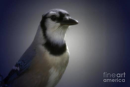 Amanda Collins - Blue Jay Close up