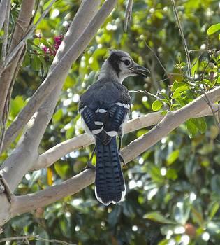 Blue Jay  by Dana Doyle