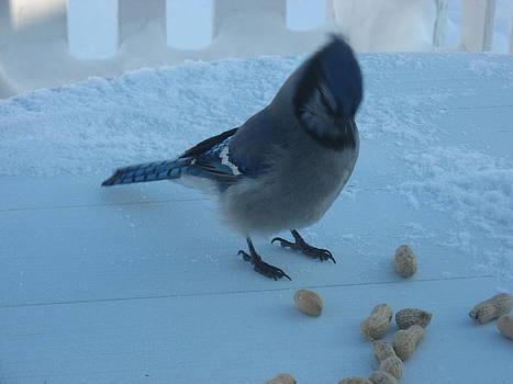 Blue Jay by Gordon Wunsch