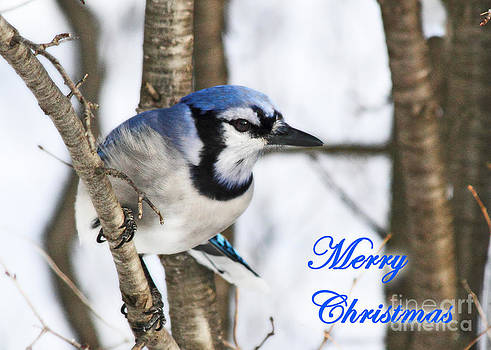Blue Jay Greeting Card by Deanna Wright