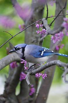 Blue Jay  by Heidi Poulin