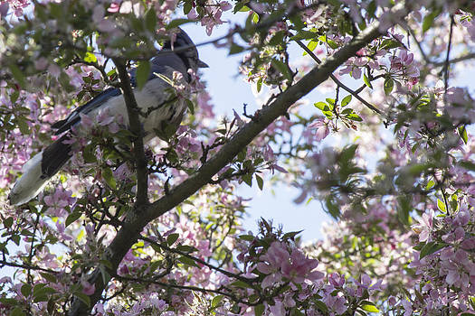 Blue Jay in a Tree by Alfredia Mealing