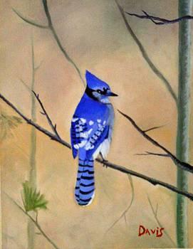 Blue Jay by John Davis