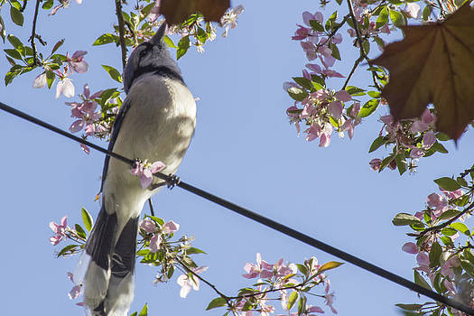 Blue Jay on a Wire by Alfredia Mealing