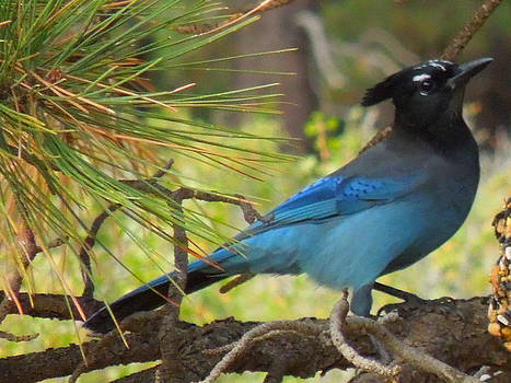 Blue Jay perch by Donna Jackson