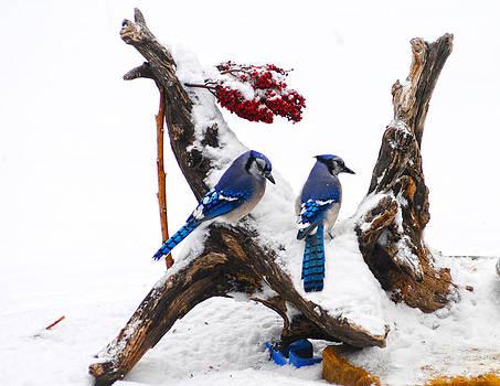 Randall Branham - Blue jays in Winter