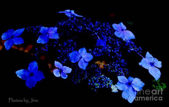 Blue Lace Cap Hydrangea  by Jinx Farmer