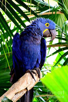 Mary Deal - Blue Macaw