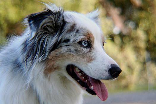 Blue Merle Australian Shepherd Dog by Lisa Anne McKee