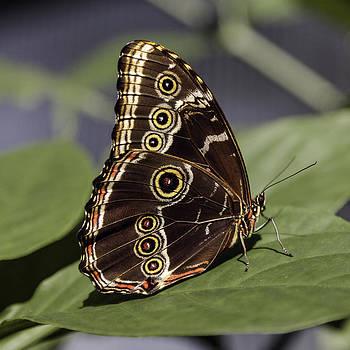 Lynn Palmer - Blue Morpho Butterfly