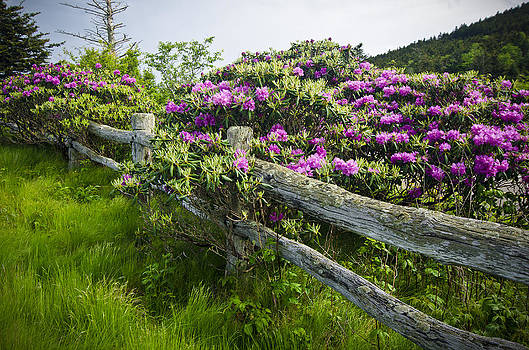 Blue Ridge Mountains NC TN Janes Bald Rhododendron Bloom by Robert Stephens