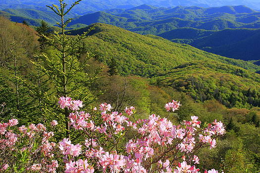 Blue Ridge Parkway Rhododendron Bloom- North Carolina by Michael Weeks