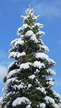 Blue Spruce Snow Cap Tree by Joseph Desmond