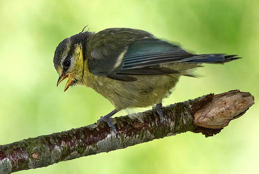 Blue Tit fledgling First day out by Mr Bennett Kent