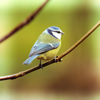 Blue Tit On A Branch #2 by Anne Macdonald