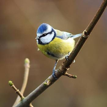 Blue Tit On A Branch by Anne Macdonald