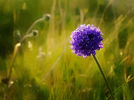 Blue Wild Flower Called Sheeps Bit by Anne Macdonald
