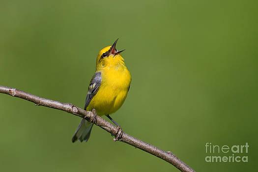 Jim Zipp - Blue-winged Warbler