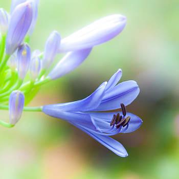 BlueBell by Lynne Jenkins