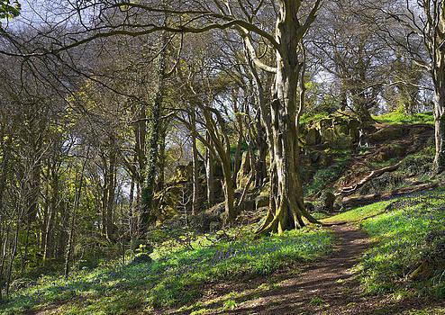 Jane McIlroy - Bluebell Wood - Newtownards