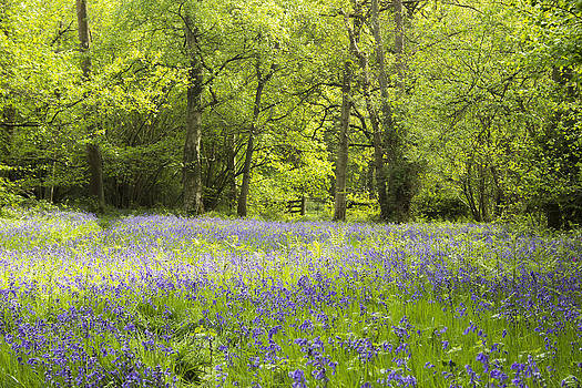 Bluebell wood by Jordan Browning