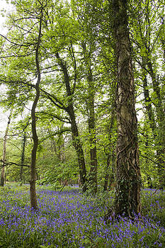 Bluebell woods by Andrew James