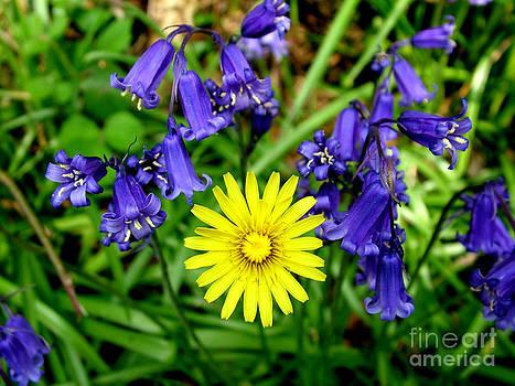 Joe Cashin - Bluebells and dandelion