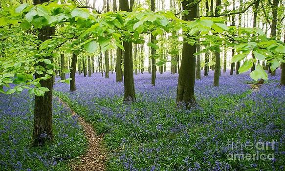 Bluebells Under a Beech Canopy by Elizabeth Debenham