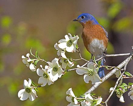 Bluebird and Dogwood by Jim E Johnson