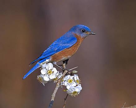 Bluebird and Mayhaw by Jim E Johnson