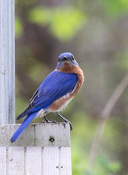 Bluebird  by Brad Fuller