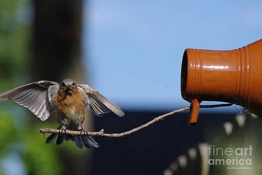 Tannis  Baldwin - Bluebird landing