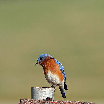 Bluebird by Michael Rucci